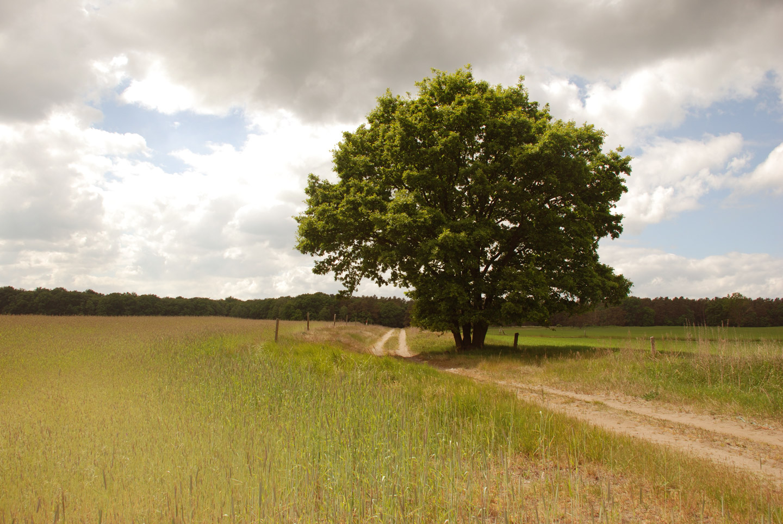 Gewachsener Baum am Feldweg.